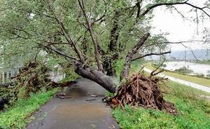 台風により根っこから倒れた足羽川堤防のソメイヨシノ=23日、福井市桃園1丁目