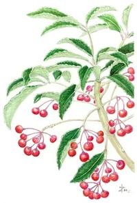【レッツ!植物楽】 マンリョウ(万両) サクラソウ科(旧ヤブコウジ科) 千両とは別の科