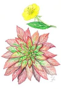 【レッツ!植物楽】メマツヨイグサ(雌待宵草) アカバナ科 冬のロゼットの代表
