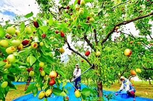 木を揺すられ、次々と収穫されていくナツメ=5日、福井市小幡町