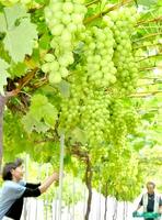 収穫が始まったシャインマスカット=福井県福井市清水町の清水ぶどう園