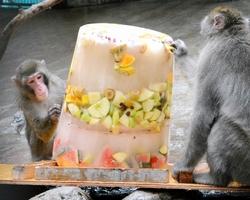 """おいしそうに""""氷のケーキ""""を食べるニホンザル=23日、福井市の足羽山公園遊園地"""