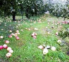 台風の影響で多くのリンゴが落下した農園=10月23日、岩手県陸前高田市(後藤勇一さん提供)