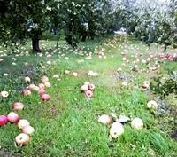 訳ありリンゴ、買って被災地応援