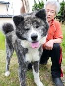 「マサル」並み期待、福井の秋田犬