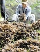 香り良し、原木マイタケ大野で収穫期