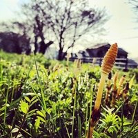 春到来「つくし」すくすく成長