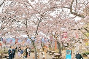 金崎宮の桜、港町敦賀を彩る