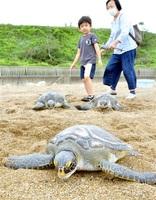 海へ向かって砂浜を進むアオウミガメ=7月17日、福井県坂井市三国町の浜地海岸