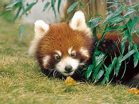 愛くるしいレッサーパンダがお出迎え