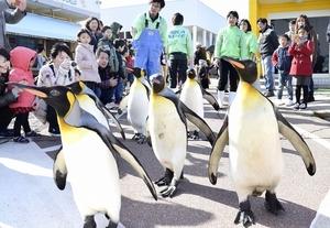 来場者に見守られながら散歩するオウサマペンギン=23日、福井県坂井市の越前松島水族館