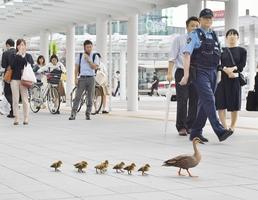警察官も安全確保に当たる中、よちよちと歩き回るカルガモの親子=6月28日、福井県福井市のJR福井駅西口広場