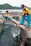 猛暑で養殖サバが大量死、業者悲鳴
