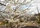 福井で白梅が例年より早く見頃