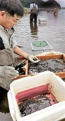 シジミ ぷりぷり 久々子湖産 美浜・伝統漁が最…