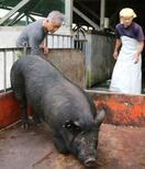 奄美の「島豚」復活を