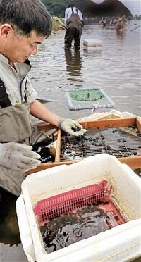 シジミ ぷりぷり 久々子湖産 美浜・伝統漁が最盛期