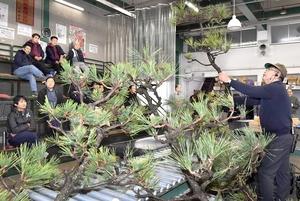 次々と競りにかけられる正月飾り用などの松=12月8日、福井県の福井市中央卸売市場