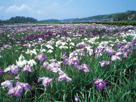 6月から1ヵ月間咲き誇る300種20万本の花菖蒲は圧巻