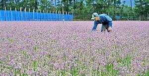砂丘彩る紫のじゅうたん
