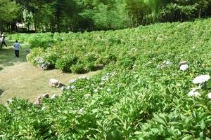 アジサイ園、1割しか咲かず落胆