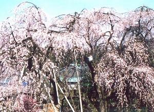 興行寺のシダレザクラ=福井県永平寺町