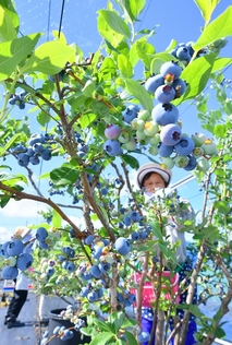 福井産ブルーベリーの収穫始まる