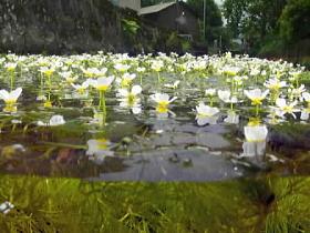 清流に白い彩り 梅花藻