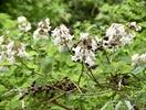珍しい白い花のキリ、福井県で確認