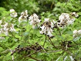 白い花を咲かせるシロバナノキリ=5月21日、福井県越前町血ケ平