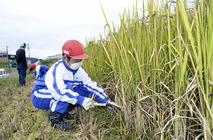 糸生小児童が古代米収穫に笑顔
