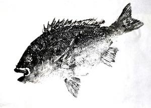 小林さんのチヌ魚拓