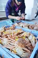水揚げされ、GIマーク入りのタグを付けられたセイコガニ=11月6日午前9時45分ごろ、福井県越前町小樟の越前漁港