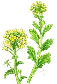 【レッツ!植物楽】ハナナ(花菜) アブラナ科 春を呼ぶ野菜の花 レッツ!植物楽