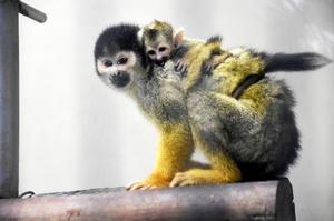 母親のなっつにしがみつくボリビアリスザルの赤ちゃん=7日、福井県鯖江市西山動物園