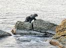 越前海岸に海獣、写真家が撮影