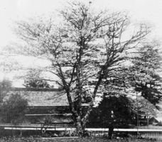 昭和初期まで丹生酒造近くにあった桜の木(丹生酒造提供)