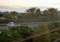 「ひと・まち・東海」高速ICにサギ数千羽営巣