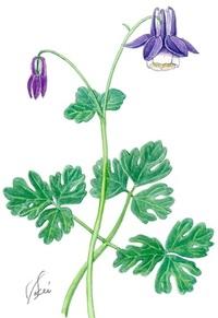 オダマキ(苧環) キンポウゲ科 単純な花が大変身 レッツ!植物楽