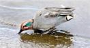 コガモ 国内最小、鳴き声独特 三方五湖野鳥辞典