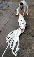 全長3m、ダイオウイカに漁師仰天
