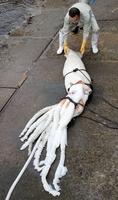 陸に揚げられたダイオウイカ=12月19日、福井県小浜市の宇久漁港
