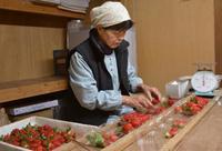新品種イチゴを初出荷、佐賀