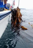 「スクランブル」温暖化、近海コンブ消滅も