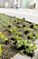 花が株ごと掘り返され無残な花壇=8日夜、福井市中央1丁目