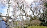 不屈のしだれ桜 今年も 永平寺町で満開