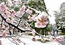 花冷え、白雪に映える満開の桜