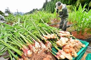 爽やかな香りを漂わせ、次々と掘り起こされる「越前しょうが」=9月18日、福井県福井市蔵作町