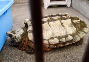 渡良瀬川で捕獲されたワニガメ=2日午後、栃木県足利市