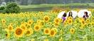 黄色い絶景、1万本のヒマワリ大輪
